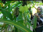 lies-pribadi-saat-memetik-buah-karawila-ukuran-besar-di-kebunnya.jpg