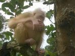orangutan-bule-orangutan-albino_20170617_110340.jpg