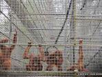 orangutan-di-pusat-rehabilitasi-dan-reintroduksi-yayasan-han.jpg