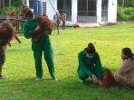 orangutan-di-yayasan-bos-palangkaraya_20180214_215337.jpg