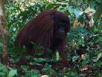 orangutan-dilepasliarkan-oleh-yayasan-bosf.jpg