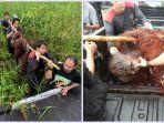 orangutan-diselamatkan-petugas.jpg