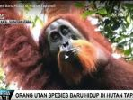orangutan-spesies-baru_20171106_202311.jpg