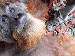orangutan-tapanuli-ditemukan-terluka.jpg