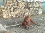 orangutan-yang-sempat-diamankan-warga-desa-taringin-kabupaten-gnungmas-kalteng_20180122_120303.jpg
