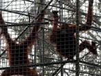 orangutan_20151221_182246.jpg