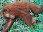 orangutan_20161119_003513.jpg