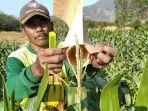 pak-galam-petani-bajuin-memperlihatkan-jagung-hibrida-yang-sudah-berkembang.jpg
