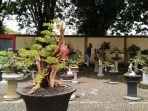 pameran-bonsai-jalanan-di-depan-stadion-sarabakawa-tabalong.jpg