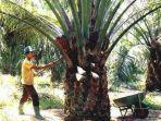 pekerja-perkebunan-kelapa-sawit-di-kalteng-banyak-didatangkan.jpg