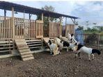 pemeliharaan-dan-perawatan-ternak-kambing.jpg