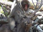perilaku-seksual-monyet-dan-rusa-di-jepang_20171229_095720.jpg