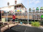 perkutut-sumo-bird-farm.jpg