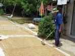 petani-asam-pauh-desa-bakti-kecamatan-batubenawa-kabupaten-hst-jemur-sisa-hasil-panen-13042021.jpg