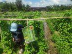 petani-desa-jingah-babaris-kabupaten-tapin-kalsel-panen-timun-31072021.jpg