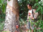 petani-di-tiwinganbaru-me-a-waktu-lalu-umumnya-petani-karet-ka-pada-tahapan-ini.jpg