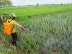 petani-menyemprotkan-insektisida-pada-tanaman-padi-yang-terserang-virus-tungro.jpg
