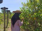 petik-lemon-banjarbaru-wisata-1.jpg