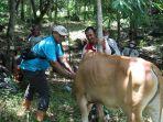 petugas-disnakbun-banjar-memeriksa-kesehatan-sapi-di-desa-tiwinganbaru-dua-pekan-lalu.jpg