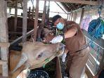 petugas-memeriksa-kesehatan-sapi-di-kecamatan-sungai-pandan-amuntai-kabupaten-hsu-06072021.jpg