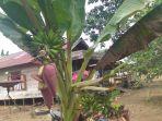 pisang-mahuli_20180702_115210.jpg