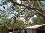 pohon-durian_20180915_210945.jpg