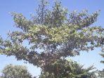 pohon-ketapang-yang-dipercaya-disukai-mahluk-kuntilanak.jpg