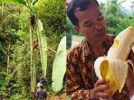 pohon-pisang-musa-ingens-raksasa-asal-papua-yang-viral.jpg