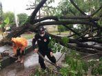 proses-evakuasi-pohon-tumbang-di-jalan-datu-nuraya-tapin.jpg