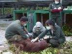 proses-pelepasliaran-orangutan-di-kalteng-yang-dilakukan-yayasan-bosf.jpg