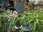 pusat-penjualan-tanaman-hias-dan-bibit-pohon-buah-di-jalan-yos-soedarso-palangkaraya-23122020-6.jpg