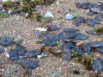 ratusan-ikan-mendadak-mati-terdampar-di-pantai-desa-rutong.jpg