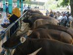 ratusan-sapi-qurban-tambat-di-pasar-hewan-pelaihari-tanahlaut-kalsel.jpg
