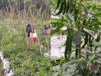 salah-satu-hasil-pertanian-di-kecamatan-lokpaikat.jpg