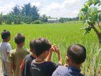 sejumlah-bocah-melihat-pertanian-padi-di-kelurahan-kupang-kecamatan-tapin.jpg