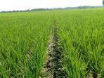 sekitar-800-hektar-tanaman-padi-jenis-c-hirang-terancam-gagal-panen.jpg