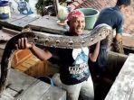 suwa-petualang-dan-ular-pitonnya-2.jpg