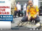 tim-animal-rescue-banjarmasin-mengevakuasi-seekor-buaya-muara.jpg