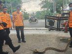 tim-animal-rescue-bpbd-banjarmasin-berhasil-mengamankan-ular-piton.jpg
