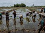 upaya-memaksimalkan-pengembangan-pertanian-kawasan-food-estate-terus-dilakukan-pemprov-kalteng.jpg