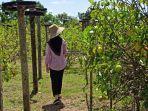 wisata-kalsel-seorang-pengunjung-sedang-memetik-buah-lemon-satat.jpg