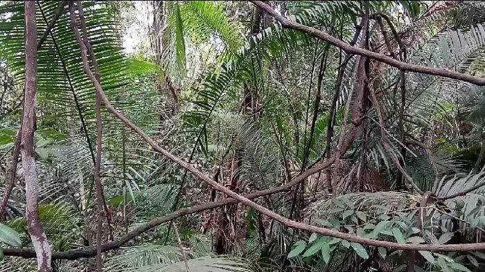 Eksotisme Hutan Galam Perawan Swarangan Tanahlaut, Heritage bagi Generasi Banua, Bajakah Pun Ada