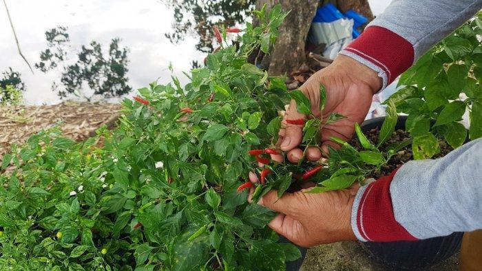 Dikembangkan di Desa Hiyung Tapin,  Cabai ini Pedasnya 17 Kali dari Cabai Rawit