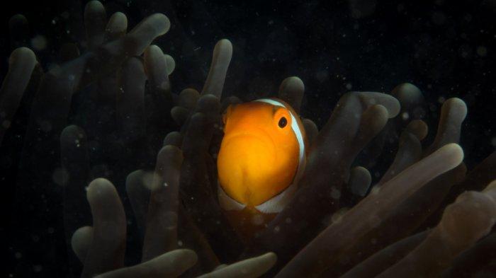 Pengunjung Wisata Kalsel Pulau Samber Gelap Kotabaru pun Disuguhi Ikan Laut Segar Tangkapan Nelayan - pesona-bawah-laut-wisata-kalsel-pulau-samber-gelap-di-kabupaten-kotabaru.jpg