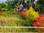 taman-mekarsari-yang-diisi-bunga-celosia-di-desa-tampang-kecamatan-lam.jpg
