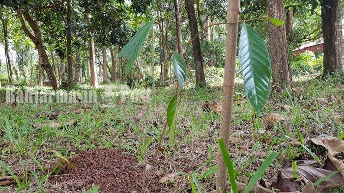 Penyangga Hutan Kota dan Tempat Pengembangan Ulin Tala Kalsel