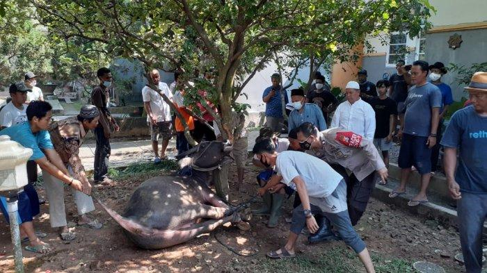 Seekor kerbau disembelih setelah mengamuk di Ciore, Kelurahan Kotasari, Kecamatan Gerogol, Kota Cilegon, Selasa (20/7/2021).