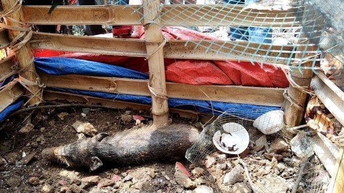 Babi yang diduga jadi-jadian atau babi ngepet diamankan warga di Sawangan, Kota Depok, Jawa Barat, Selasa (27/4/2021).