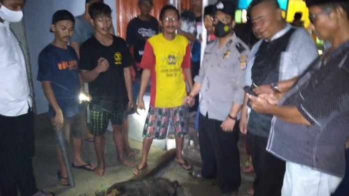 Kronologi Babi Liar ke Permukiman di Kramatwatu Kabupaten Serang, Acak-acak Toko, Ada Warga Terluka