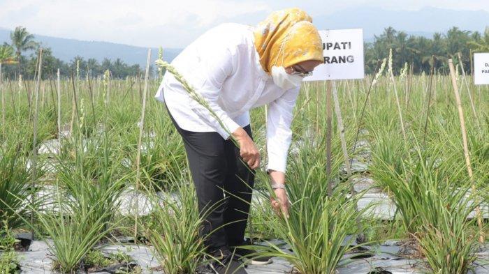 Bupati Serang Ratu Tatu Chasanah panen bunga Sedap Malam di Desa Bugel, Kecamatan Padarincang, Kabupaten Serang, Rabu (16/6/2021).